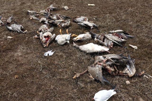 Hindistan'da kuş gribi paniği