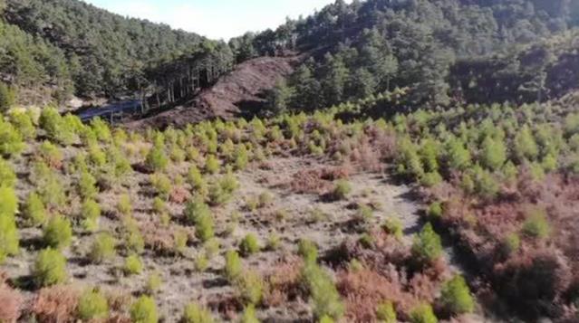 Ekipler, yılbaşına 'fidan nöbetinde' girecek! Çam ağaçlarının kesilmemesi için görev başındalar