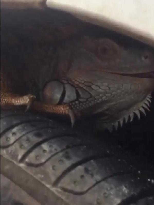 Şaşkına çeviren görüntü! Otomobilin ön tekerine giren iguana, güçlükle çıkarıldı