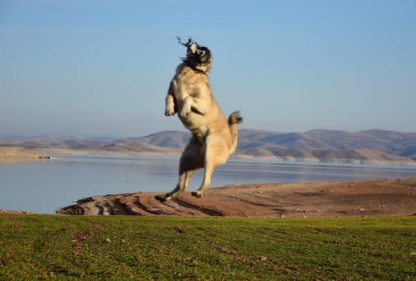 Kangal köpeğinin, 5 metre yüksekteki dronu kapma anı kamerada