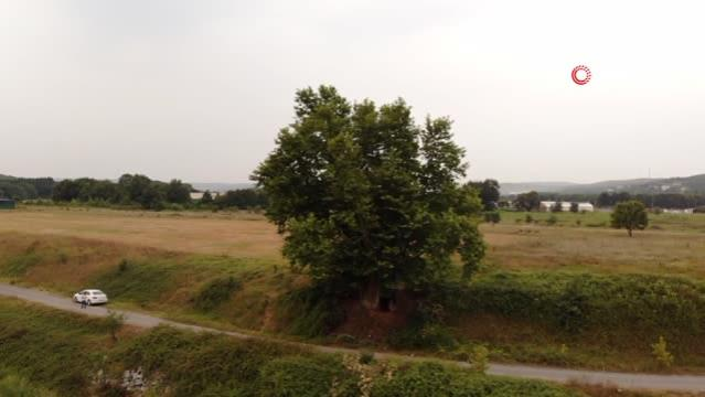 İki imparatorluk gören 641 yaşındaki çınar ağacı asırlara meydan okuyor